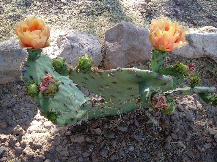 AZ Cactus Flowering