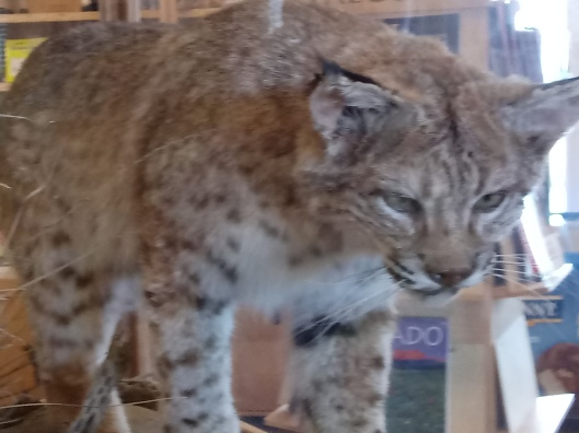 Bobcat in Lathrop